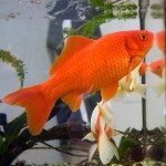Facts About Goldfish – What You Need To Know About This Opportunistic Feeder!