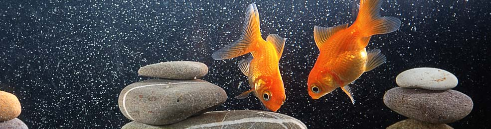 history of goldfish