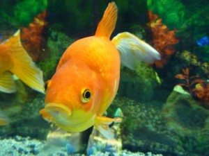 fish for outdoor ponds