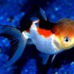 How to Care for Fancy Goldfish – The Perfect Environment