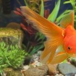 Fantail Goldfish Fin Turning Black