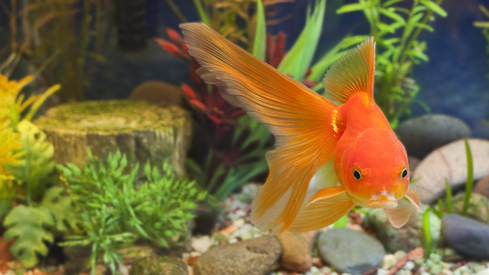 The official guide to goldfish: goldfish society of america.