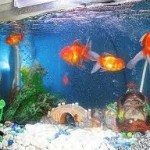 Goldfish Aquariums – Maintaining an Aquarium