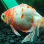 Sick Goldfish – The Importance of Early Diagnosis