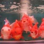 Goldfish Care: Administering Medication The Safe Way!