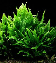 Java Fern – A Welcome Addition To Your Pond Or Aquarium!