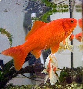 Goldfish care - feed once a day, keep water clean