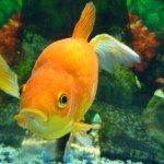 Types of Goldfish – Which Are Pond Fish?