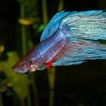 How to Take Care of Betta Fish and Avoid Problems